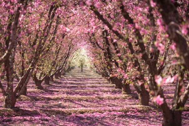 Blossom_Trail_Orchards.jpg